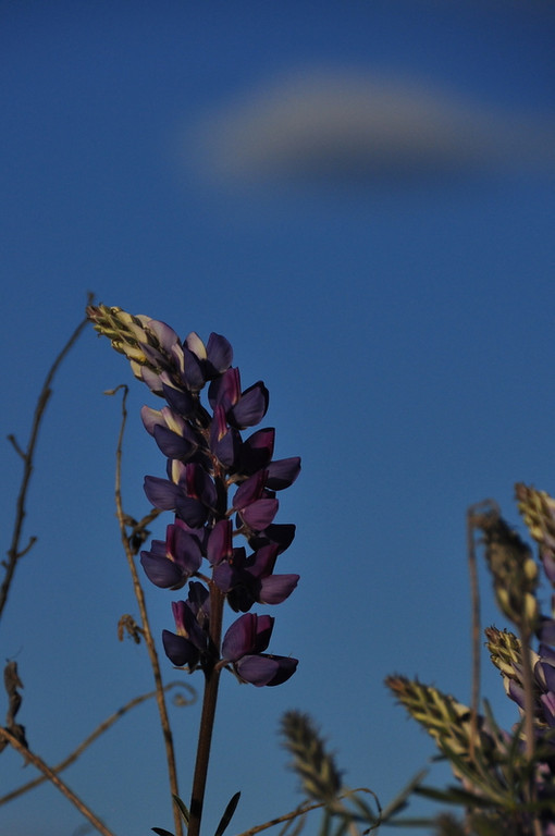 Name: Silver Bush Lupine (Lupinus albifrons var. albifrons)<br /> Location: Carrizo Plain National Monument<br /> Date: March 21, 2009
