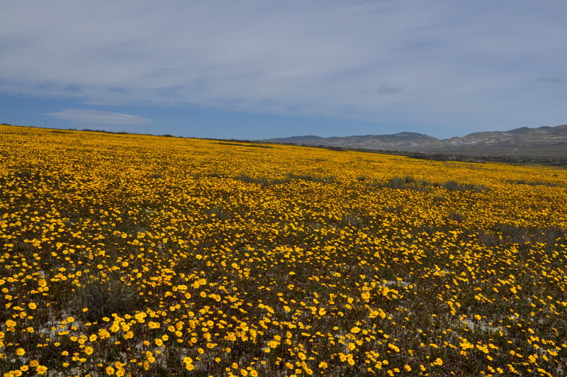 Name: Coreopsis (Coreopsis calliopsidea)<br /> Location: Carrizo Plain National Monument<br /> Date: March 21, 2009