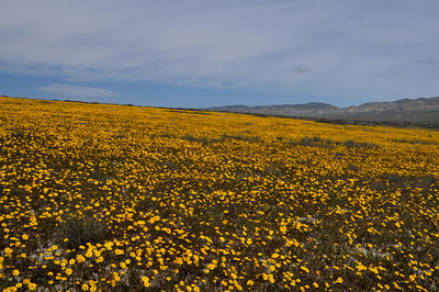 Name: Coreopsis (Coreopsis calliopsidea) Location: Carrizo Plain National Monument Date: March 21, 2009