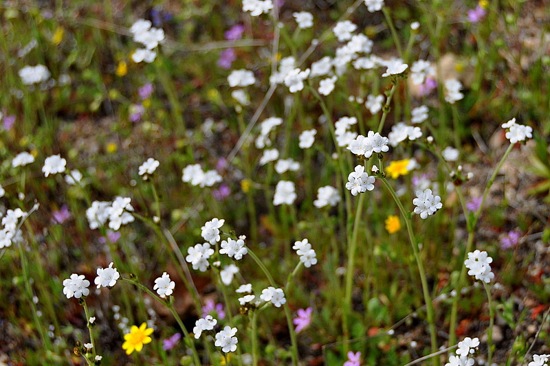 Popcorn flowers<br /> <br /> Name: Popcorn Flower (Plagiobothrys sp.)<br /> Location: Carrizo Plain National Monument<br /> Date: March 21, 2009