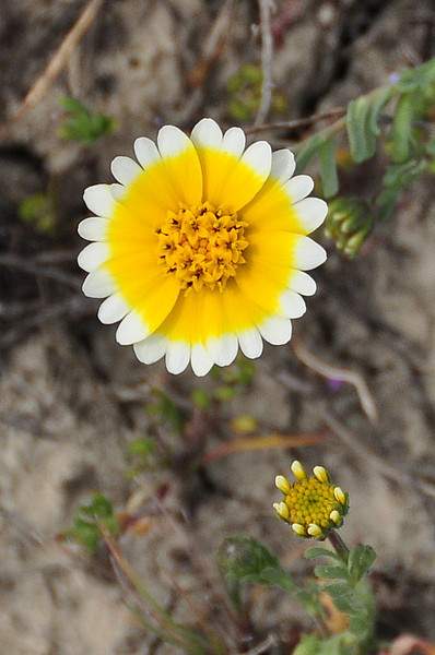 Name: Tidy Tip (Layia platyglossa)<br /> Location: Carrizo Plain National Monument<br /> Date: March 21, 2009