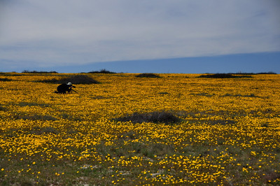 Photographer in Flowers  David in the field of coreopsis