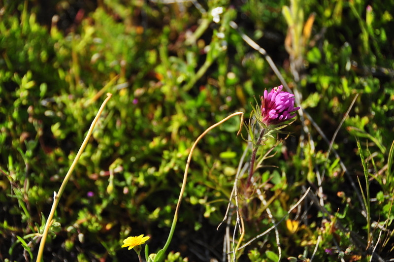 Name: Purple Owl's Clover (Castelleja exserta)<br /> Location: Carrizo Plain National Monument<br /> Date: March 21, 2009