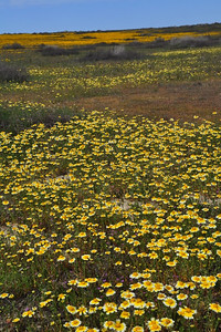 Name: Tidy Tips (Layia platyglossa) Location: Carrizo Plain National Monument Date: March 21, 2009