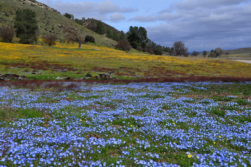 Hillside flower blanket<br /> <br /> Name: California Goldfields (Lasthenia californica)<br /> Name: Baby Blue Eyes (Nemophila menziesii)<br /> Location: Carrizo Plain National Monument<br /> Date: March 21, 2009