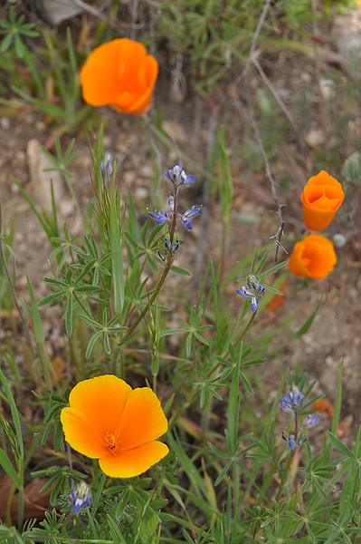 Poppies and Miniature Lupine<br /> <br /> Name: California Poppy (Eschscholzia californica)<br /> Name: Miniature Lupine (Lupinus bicolor)<br /> Location: Carrizo Plain National Monument<br /> Date: March 21, 2009