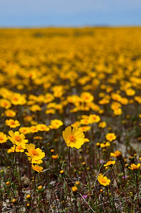 Coreopsis  Name: Coreopsis (Coreopsis calliopsidea) Location: Carrizo Plain National Monument Date: March 21, 2009