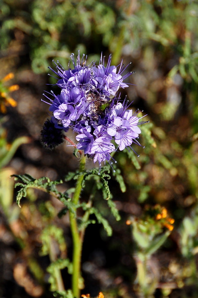 Name: Tansy phacelia (Phacelia tanacetifolia)<br /> Location: Carrizo Plain National Monument<br /> Date: March 21, 2009