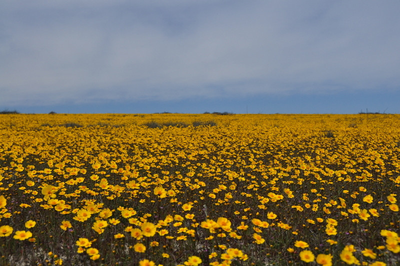 Coreopsis<br /> <br /> Beautiful dense field of coreopsis. This was my favorite stop!