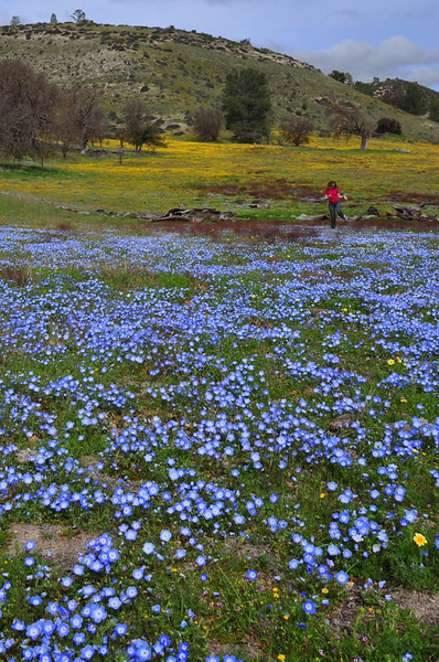 Pavla prances through the flowers<br /> <br /> Name: California Goldfields (Lasthenia californica)<br /> Name: Baby Blue Eyes (Nemophila menziesii)<br /> Location: Carrizo Plain National Monument<br /> Date: March 21, 2009