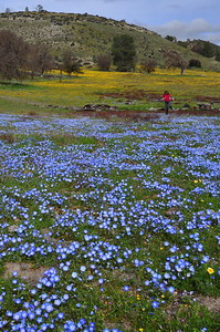 Pavla prances through the flowers  Name: California Goldfields (Lasthenia californica) Name: Baby Blue Eyes (Nemophila menziesii) Location: Carrizo Plain National Monument Date: March 21, 2009