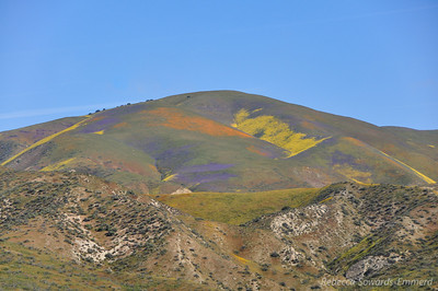 Phacelia, Poppies, and Goldfield color the hills of the Temblor Range.