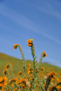 Fiddlenecks along Shell Canyon Road