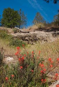 Paintbrush along Shell canyon Road
