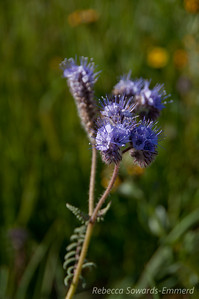 Name: Flat-Leaf Phacelia, Lacy Phacelia (Phacelia distans, Phacelia cryptantha) Location: Carrizo Plain National Monument Date: April 3, 2010