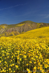 Coreopsis field in the Temblors