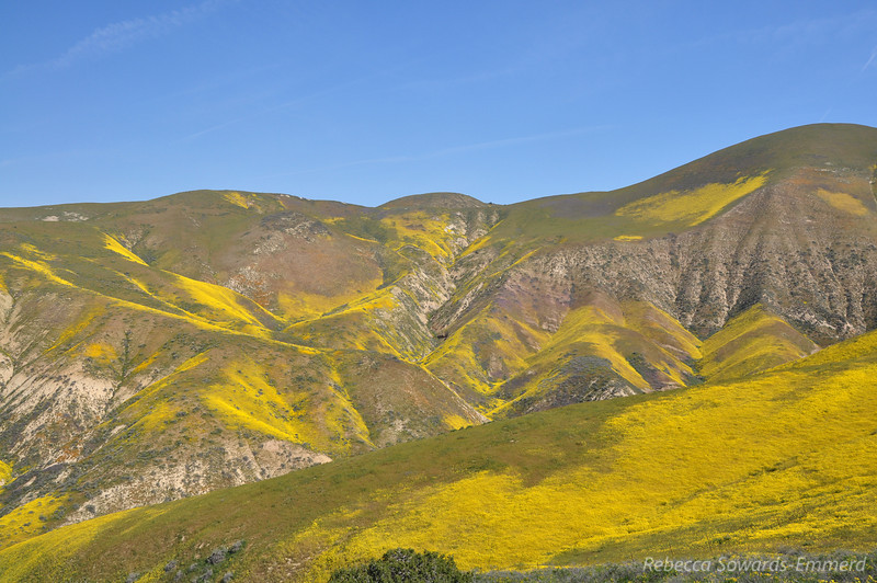 We drove up Crocker Rd (steep 4WD) and found ourselves among fields of Goldfield and Coreopsis