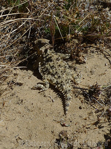 Horny Toad!