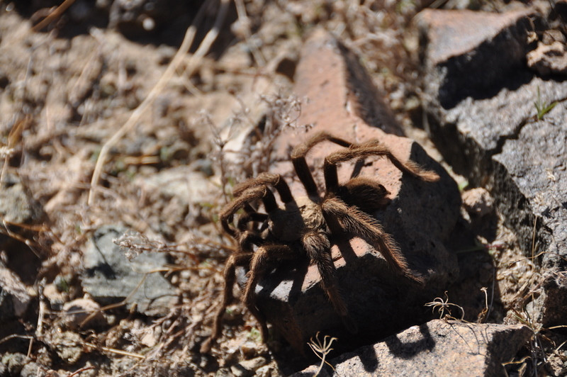 Fuzzy cache visitor. He wasn't very lively, tarantulas are kind of slow and sleepy when it's 50 degrees out.