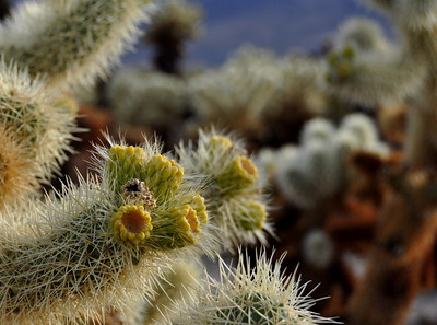 Next stop: cholla garden. Cholla are known as the 'teddy bear cactus'.