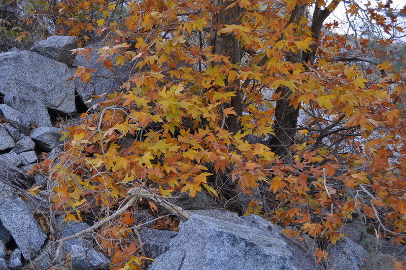 There were some nice fall colors in the canyon near the first palm oasis.