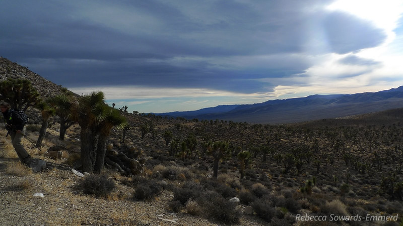 Joshua Tree forest.