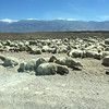 We drove out Casa Diablo Road and there were a bunch of sheep herders and their herds out here. Okay.
