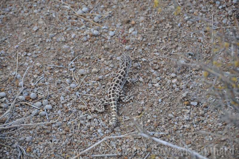More lizard. Loved this guy, but he wouldn't sit still long enough for a clear photo.