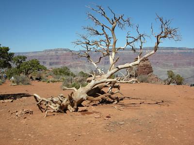 Cool tree at Cedar Ridge