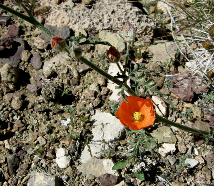 Name: Desert Globemallow (Sphaeralcea ambigua)<br /> Location: Grand Canyon, Clear Creek Trail<br /> Date: March 27, 2008