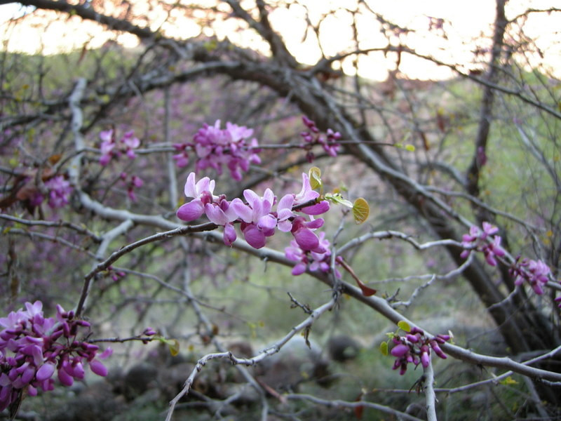 Redbud<br /> <br /> These were blooming all through the canyon - pretty!