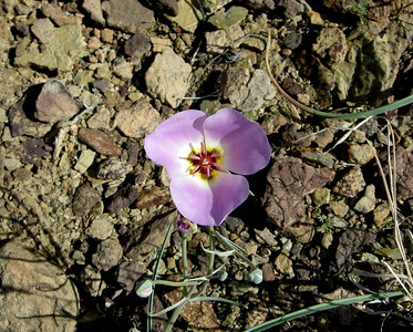 Name: Winding Mariposa Lily, Straggling Mariposa Lily (Calochortus flexuosus) Location: Grand Canyon, Clear Creek Trail Date: March 30, 2008