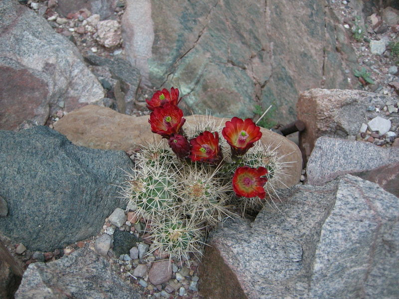 Name: Claret Cup (Echinocereus triglochidiatus)<br /> Location: Grand Canyon, Bright Angel Trail<br /> Date: March 31, 2008<br /> Notes: Blossom of the Hedgehog Cactus