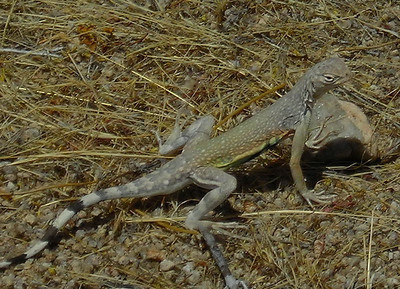 Zebra Tailed Lizards were eveywhere
