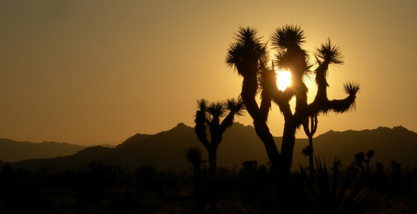 Joshua trees make such nice silhouettes