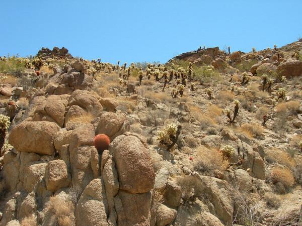 Cholla and barrel cactus