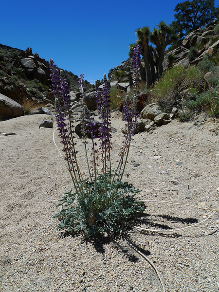 Lupine in Centennial Canyon