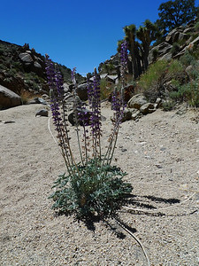 Lupine in Centennial Canyon