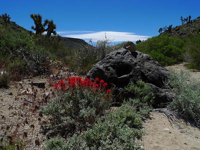 Paintbrush in Upper Centennial Canyon