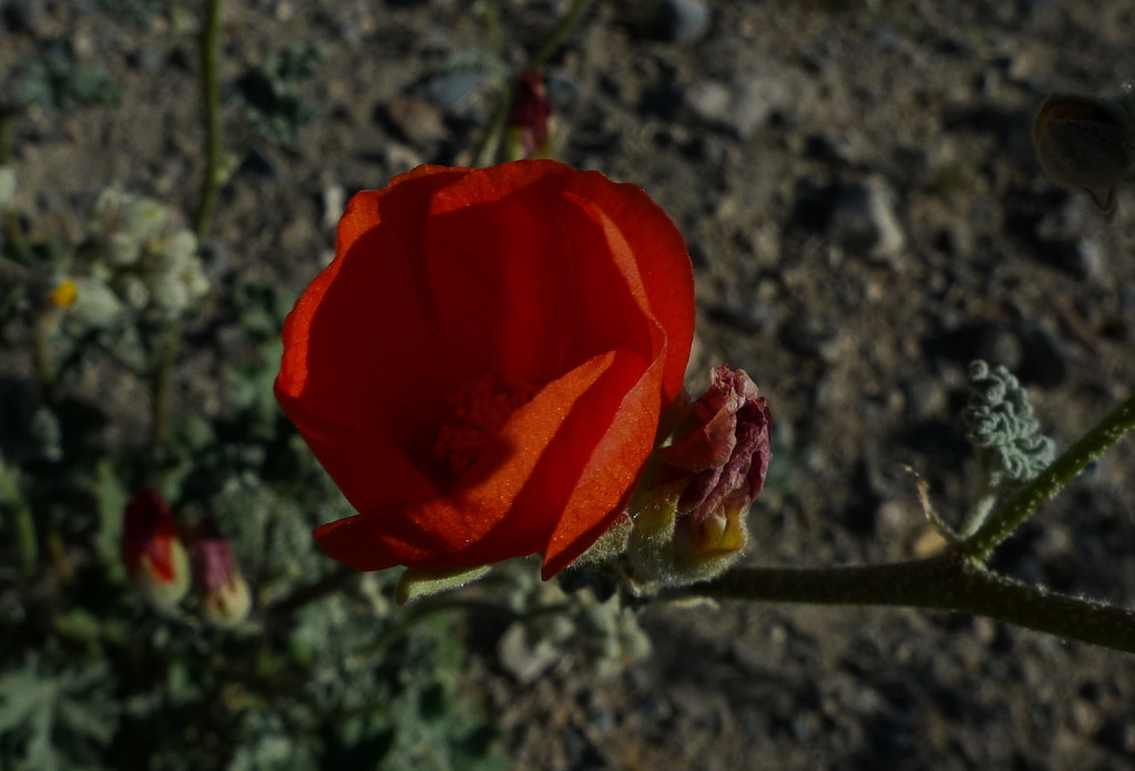 Globemallow (kinda bad shot - it was windy)
