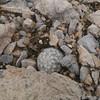Pincushion cactus.