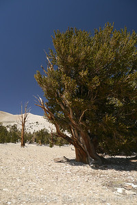 I stopped at the Patriarch Grove on the way back. Beautiful bristlecones!