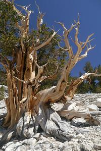 Patriarch Grove, Ancient Bristlecone Pine Forest