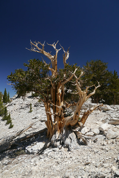 Patriarch Grove, Ancient Bristlecone Pine Forest