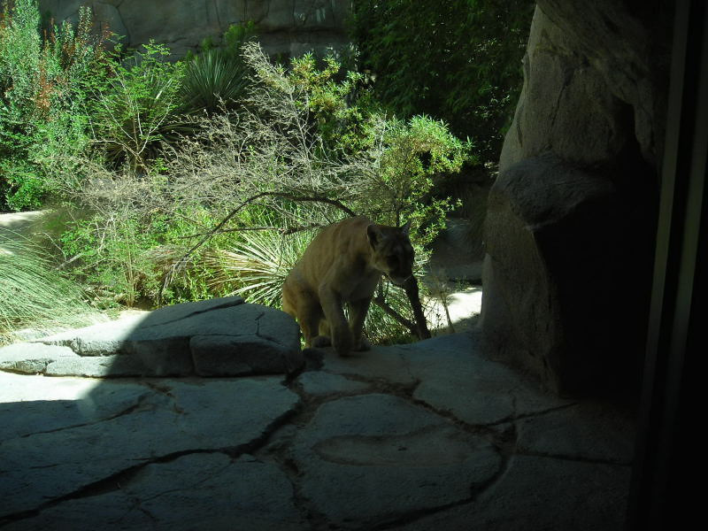 Mountain Lion - partially blind