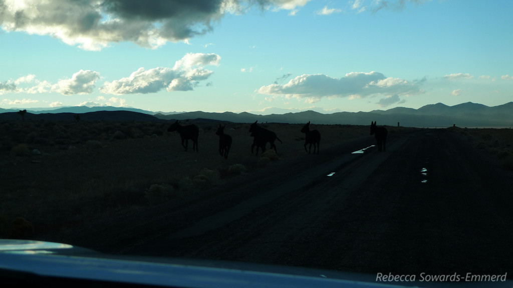 Burros in the road getting a drink from the puddle. The truck horn cleared them away quickly.