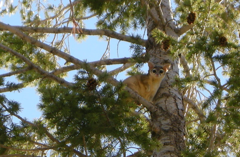 A Ring-Tailed Cat<br /> <br /> This guy was hanging out in a tree near our car - they are really cute!