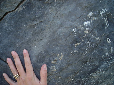 Fossils with hand for size comparison.