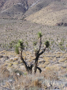 Joshua Flat  joshua trees as far as the eyes can see (on the drive into the park from Big Pine)