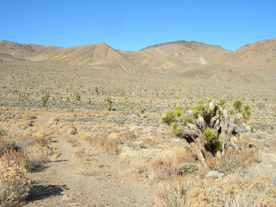 More Joshua trees at Joshua flats